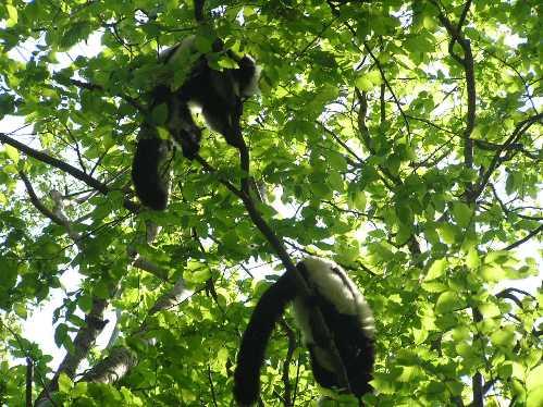 Monos en arboles