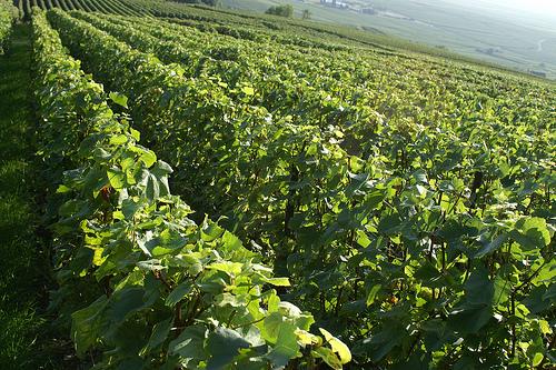 Ruta vinícola por Borgoña y Champaña